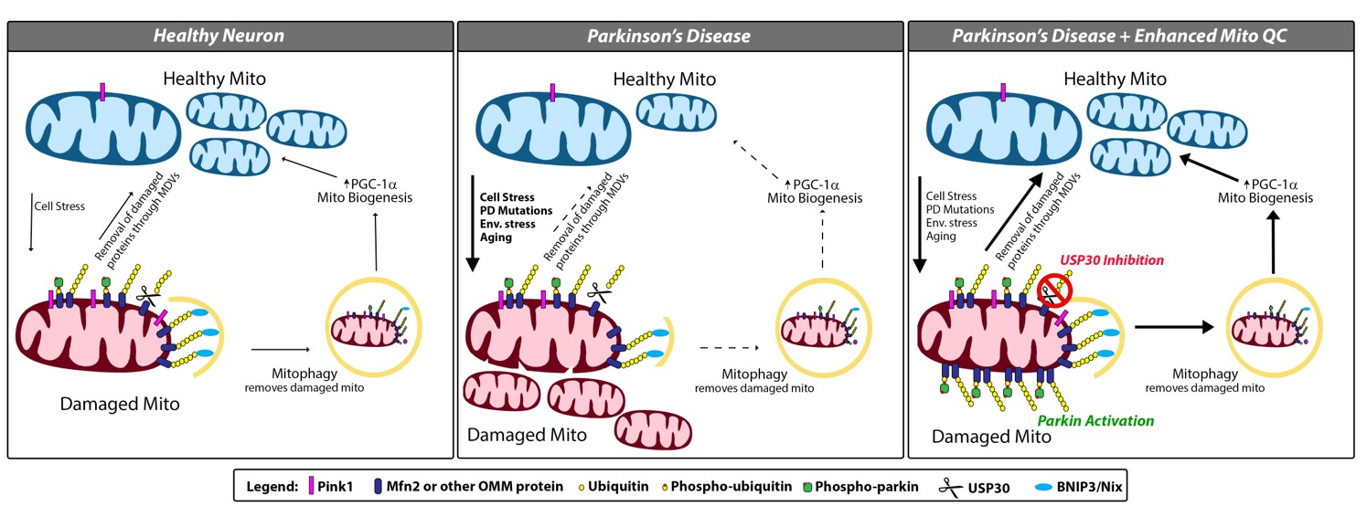 Diagram of mitophagy and how Parkin and USP30 work to balance clearance mechanisms.