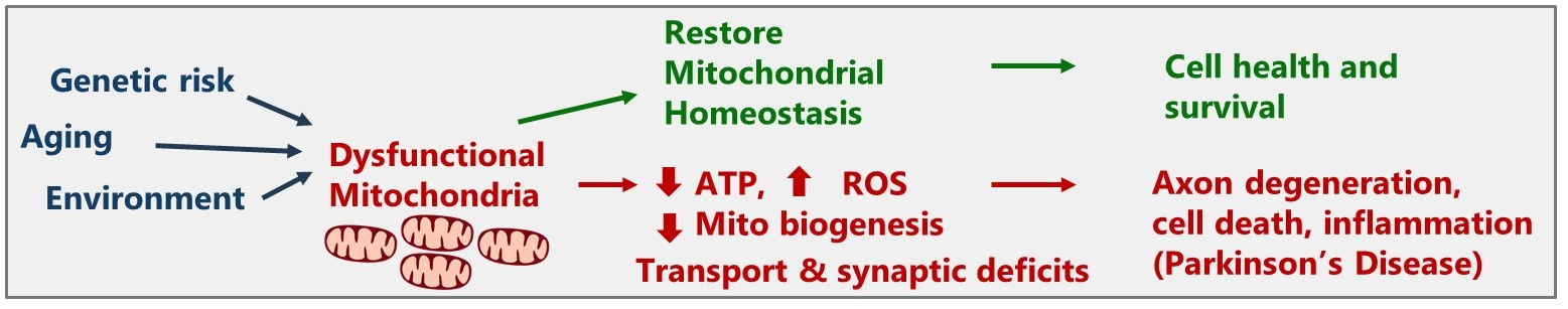Genetic risk, aging, and environment lead to dysfunctional mitochondria,            cell death, and Parkinson's disease. Restoring mitochondrial homeostasis can            improve health and survival.